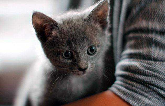 Специалисты не рекомендуют часто купать русских голубых кошек