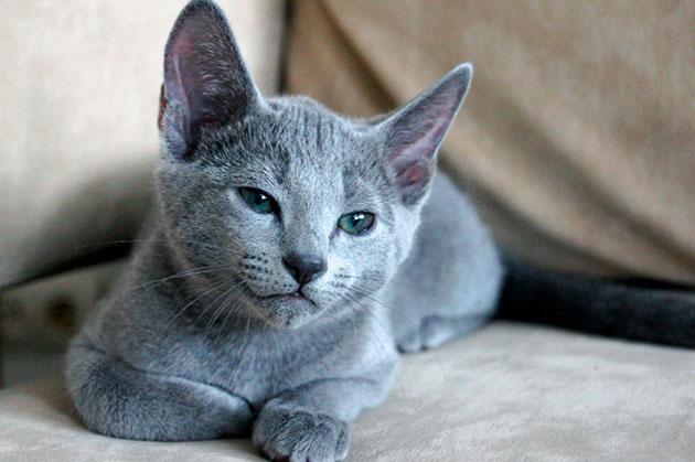 Что бы шесть у русской голубой кошки выгладила ухожено, необходимо проводить регулярную стрижку