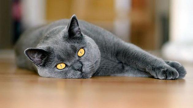 На продолжительность жизни британской кошки влияет комфортные условия проживания и отсутствие стрессов