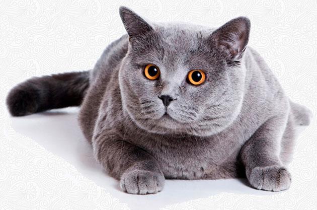 Уши у британской кошки не должны превышать ширины их основания