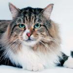 Характер кошек породы Сибирская