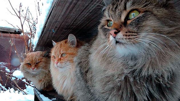 Коты сибирской кошки более прямолинейные и напористее