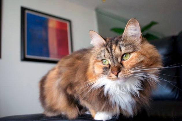 Сибирские кошки очень спокойны и терпеливы по отношению ко всем, кто живет в квартире или загородном доме
