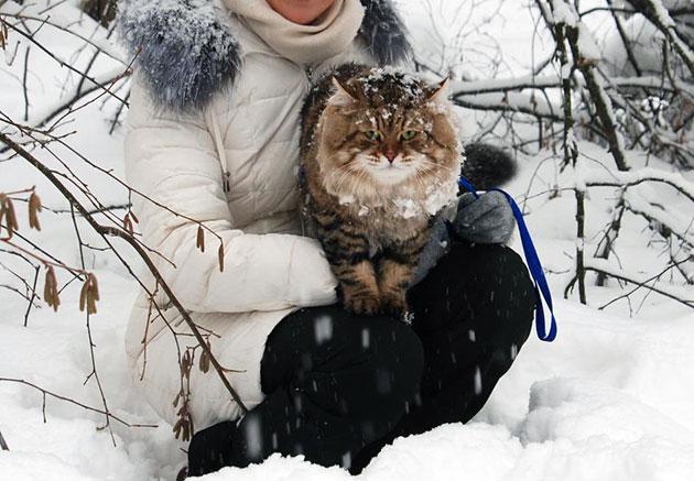 Сибирская кошка относиться с уважением к хозяину, только если эти чувства будут взаимны