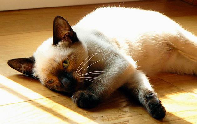 Болезни кошек породы Сиамская