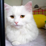 Болезни турецкой ангорской кошки