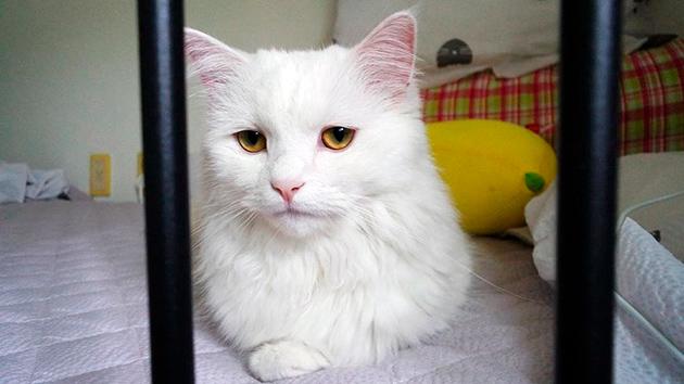 Болезни кошек породы Турецкая ангора
