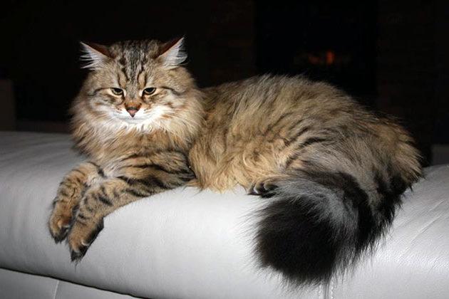 При неправильном образе жизни сибирская кошка, подвержена заболеваниям почек и мочевыводящих путей