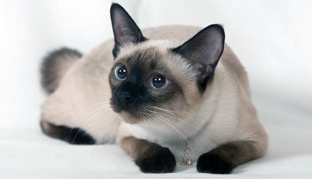 Сиамская кошка подвержена мочекаменной болезни, поэтому наблюдайте за её состоянием