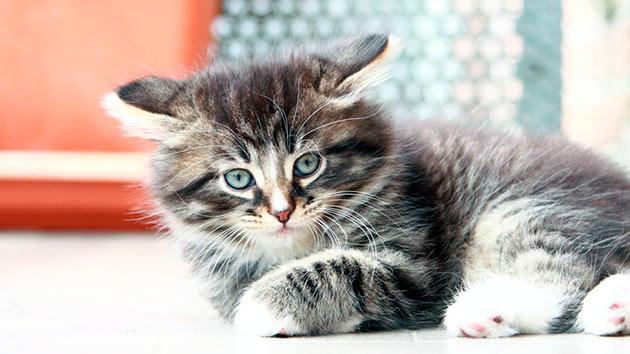 Среди болезней сердца у сибирской кошки — гипертрофическая кардиомиопатия, занимает лидирующую позицию