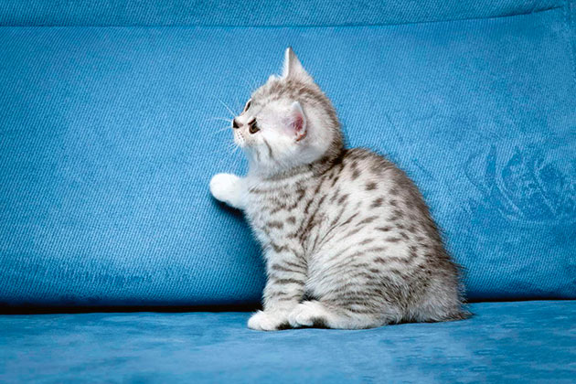 Цена на котенка британской кошки будет изменяться в зависимости от целей приобретения и может доходить до 1000 долларов