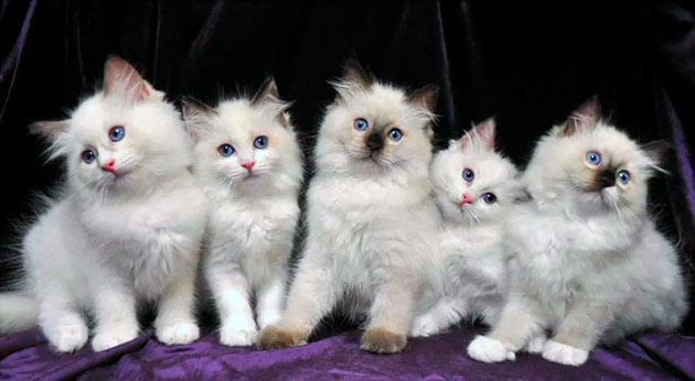 Цена на котят рэгдолла варьируется в пределах 15-40 тысяч рублей