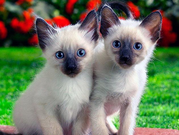 Цена на сиамскую кошку зависит от того, какому классу она принадлежит