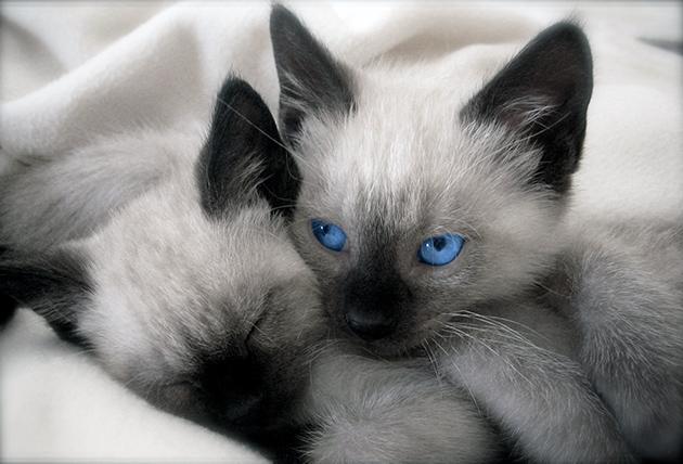 Существует ещё ряд других заболевай, поэтому если сиамская кошка чувствует недомогает - обратитесь к ветеринару