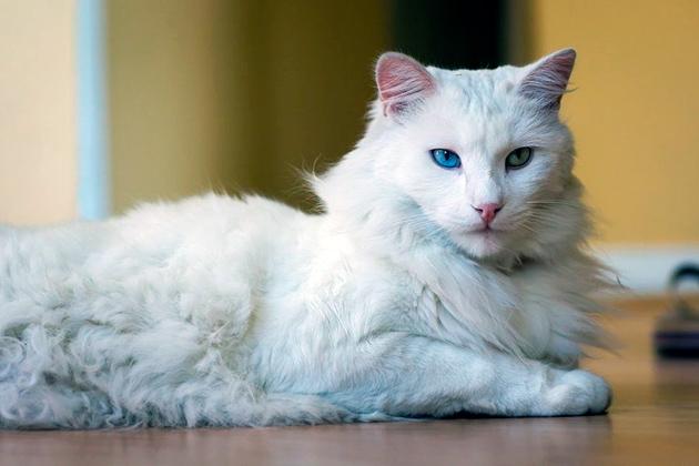 Мочекаменная болезнь у ангор обязуется у некоторых линии кошек, особенно длинношерстных
