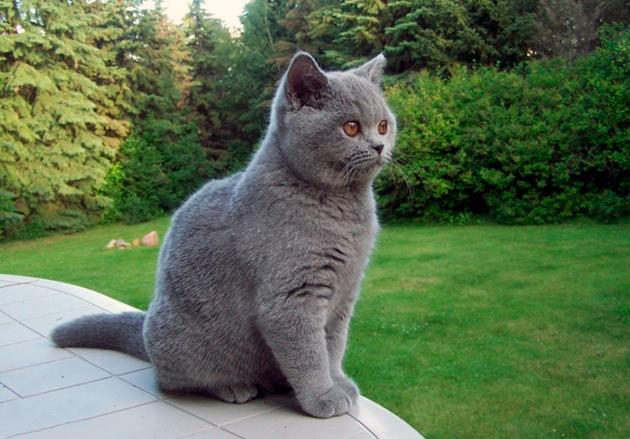 Британская короткошерстная кошка - 90 фото и описание основных ... | 439x630