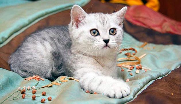 Котам британских кошек лучше давать клички более мужественные