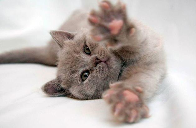 Британские кошки существа нежные и ласковые, именно поэтому необходимо давать соответствующие кличи