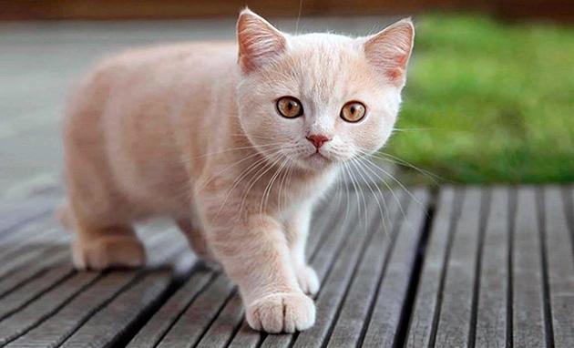 Старайтесь не называть британских кошек именами умерших людей
