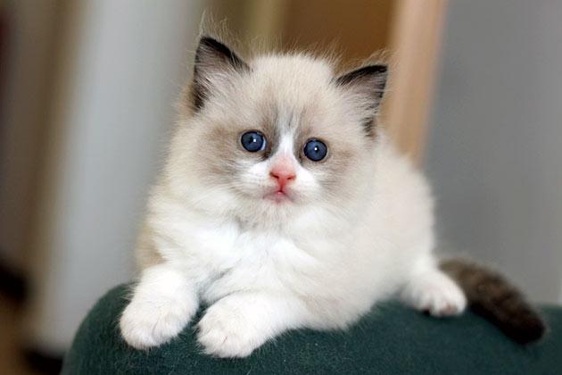 К пэт-классу котят рэгдолла относят, когда они имеют один и более недостатков запрещающих племенное разведение и участие в выставках