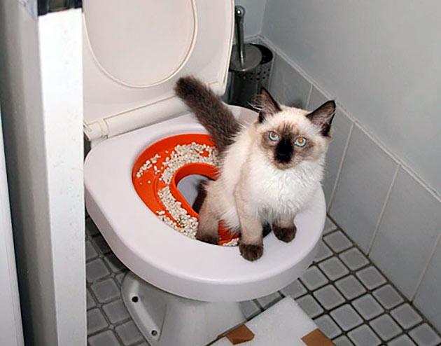 Как приучить сиамскую кошку к лотку
