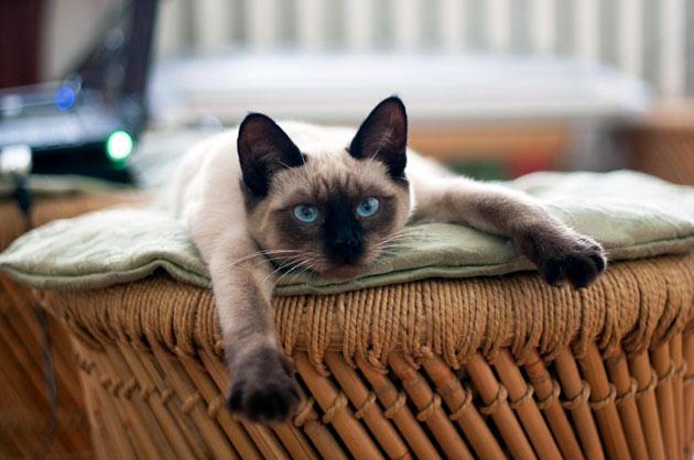 В процессе обучения сиамской кошки ходить в лоток — главное терпение
