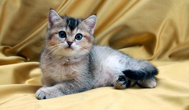 В большинстве случаев заводчики помогают на первых парах после приобретения британской кошки