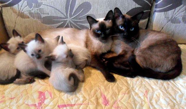 Самый ранний возраст, когда рекомендуется приобретать котенка сиамской кошки — 2 месяца