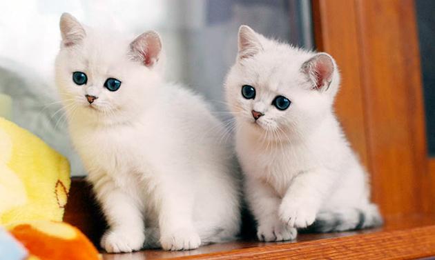 Британского котенка лучше приобретать в двух месячном возрасте
