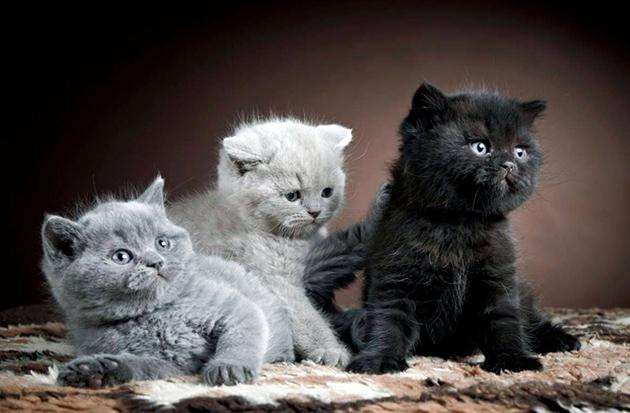 На сегодняшний день существует более 200 цветов британских кошек, поэтому не составит труда выбрать для питомца кличку