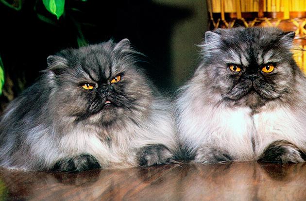 Кот персидской кошки более независимы, чем кошки