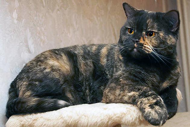 Британская короткошерстная кошка - черепаховые окрасы