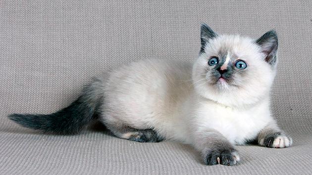 Британская короткошерстная кошка - колор-пойнтовые окрасы