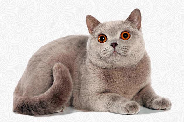 Британская короткошерстная кошка - лиловые окрасы