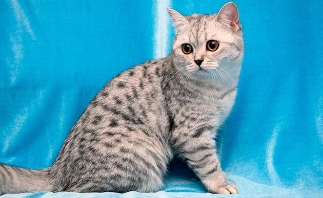 Британская короткошерстная кошка - пятнистые окрасы