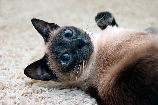Если котенок не был приучен к лотку, то это необходимо делать сразу же после его покупки