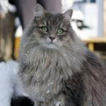 Болезни сибирской кошки