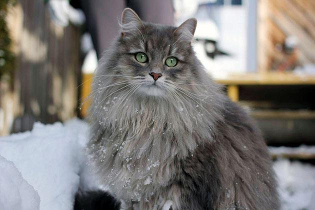 Лучшим методом профилактики для сибирской кошки, является активный образ жизни сбалансированное питание