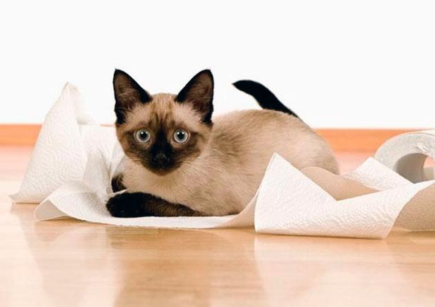 Причины, по которым сиамская кошка ходит мимо лотка могут быть, как физиологические, так и психологические