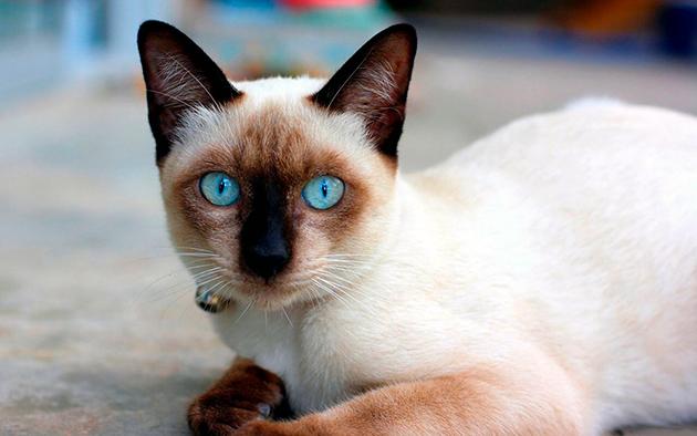 Для уходом за зубами для сиамской кошки, используйте специализированные зубные пасты