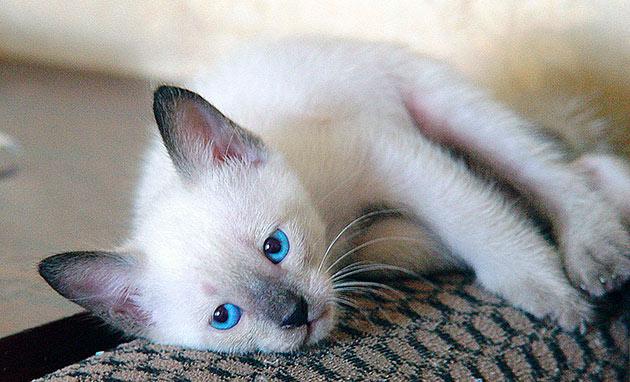 Одной из причин, того что кошка ходит мимо лотка — психологическое расстройство