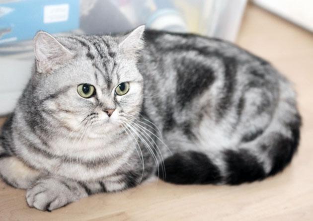 По статистике, ежемесячные траты на британскую кошку будут варьироваться в пределах 2-3 тысяч рублей