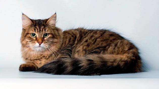 Сибирские кошки, живущие на улице, как правило живут меньше кошек, живущих дома
