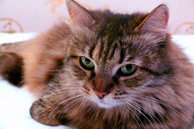 Сколько живут сибирские кошки
