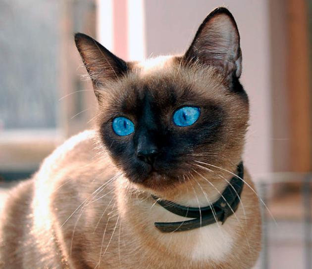 Систематическая посещения ветеринара гарант здоровья сиамской кошки