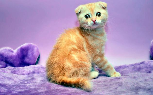 Ушки у шотландской вислоухой кошки нужно чистить минимум раз в неделю