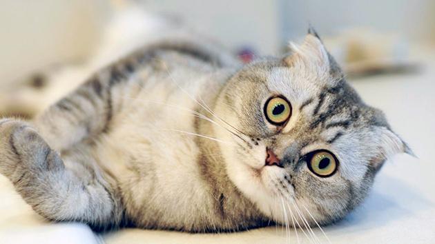 Что бы уход за шотландской вислоухой кошке не стал стрессом, необходимо приучать его с детства