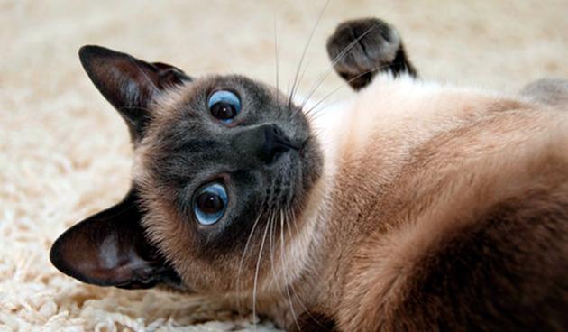 Уход за сиамской кошкой должен комплексным