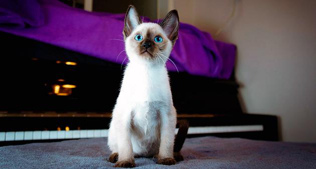 Уход за сиамской кошкой - основные правила содержания