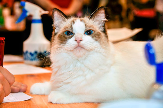 Регдоллы очень сообразительные кошки и при должном воспитание могут показывать отличные результаты